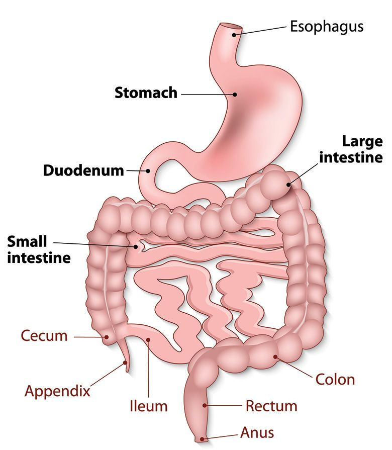 How Your Gastrointestinal Tract Works Mu Health Care