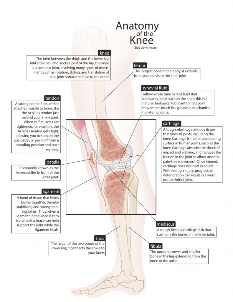 Anatomy Of The Knee Mu Health Care